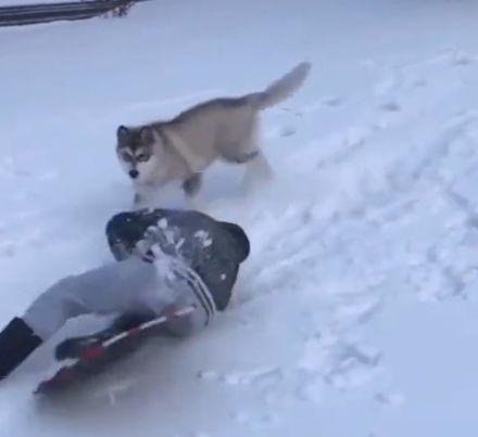 看小主人摔跤了,狗子立马也假装摔倒...这也太暖了吧!