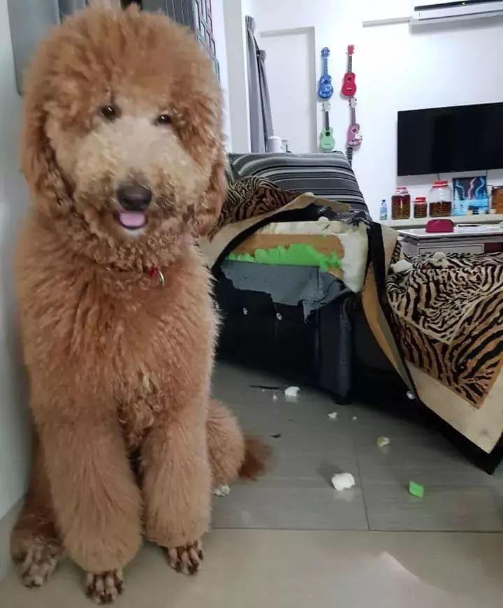 狗子是巨贵,确实大个,但铲屎官这是趴在地上拍的照吗?