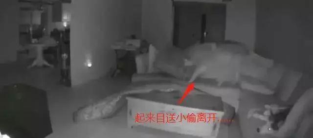 主人看监控:小偷来偷东西,家里的两只哈士奇毫无作用