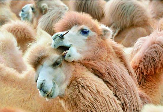 """阿拉善盟為何被稱為""""中國駱駝之鄉""""?揭秘內蒙古不一樣的那達慕"""