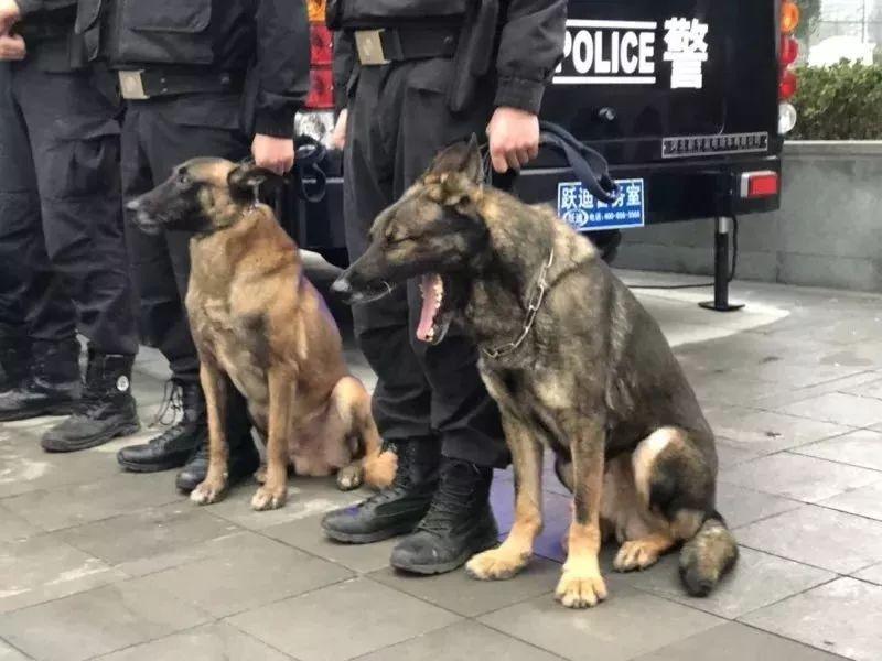 四川一只警犬在执勤时被抓拍,工作有点太累了,打个哈欠!