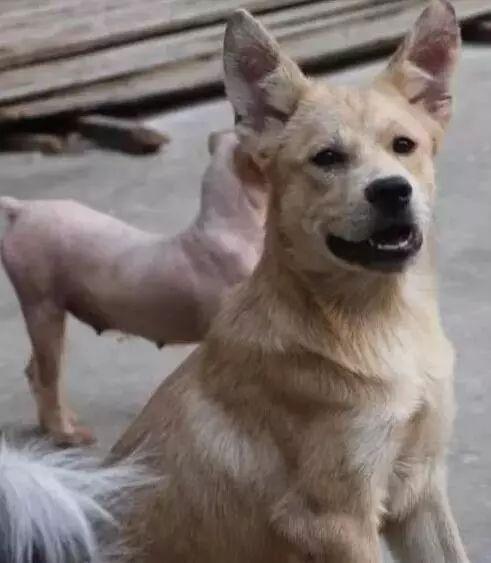 偷狗贼越来越猖狂,村民抓到偷狗贼后,将其当众游街!