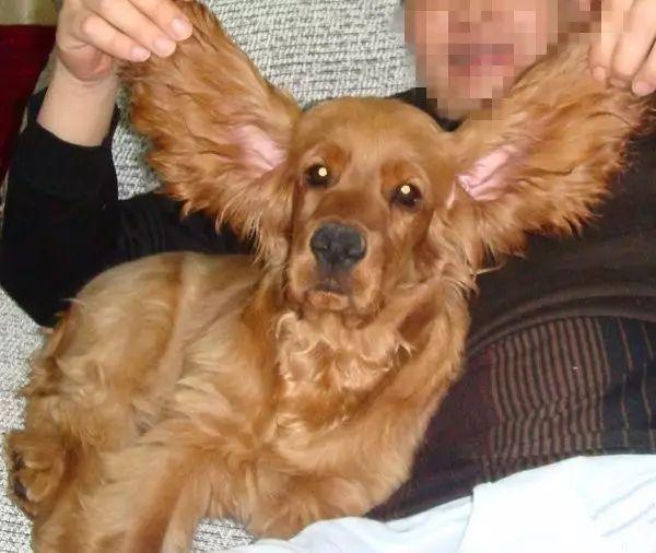 狗狗用头撞墙是怎么回事?要警惕狗狗耳朵中的螨虫