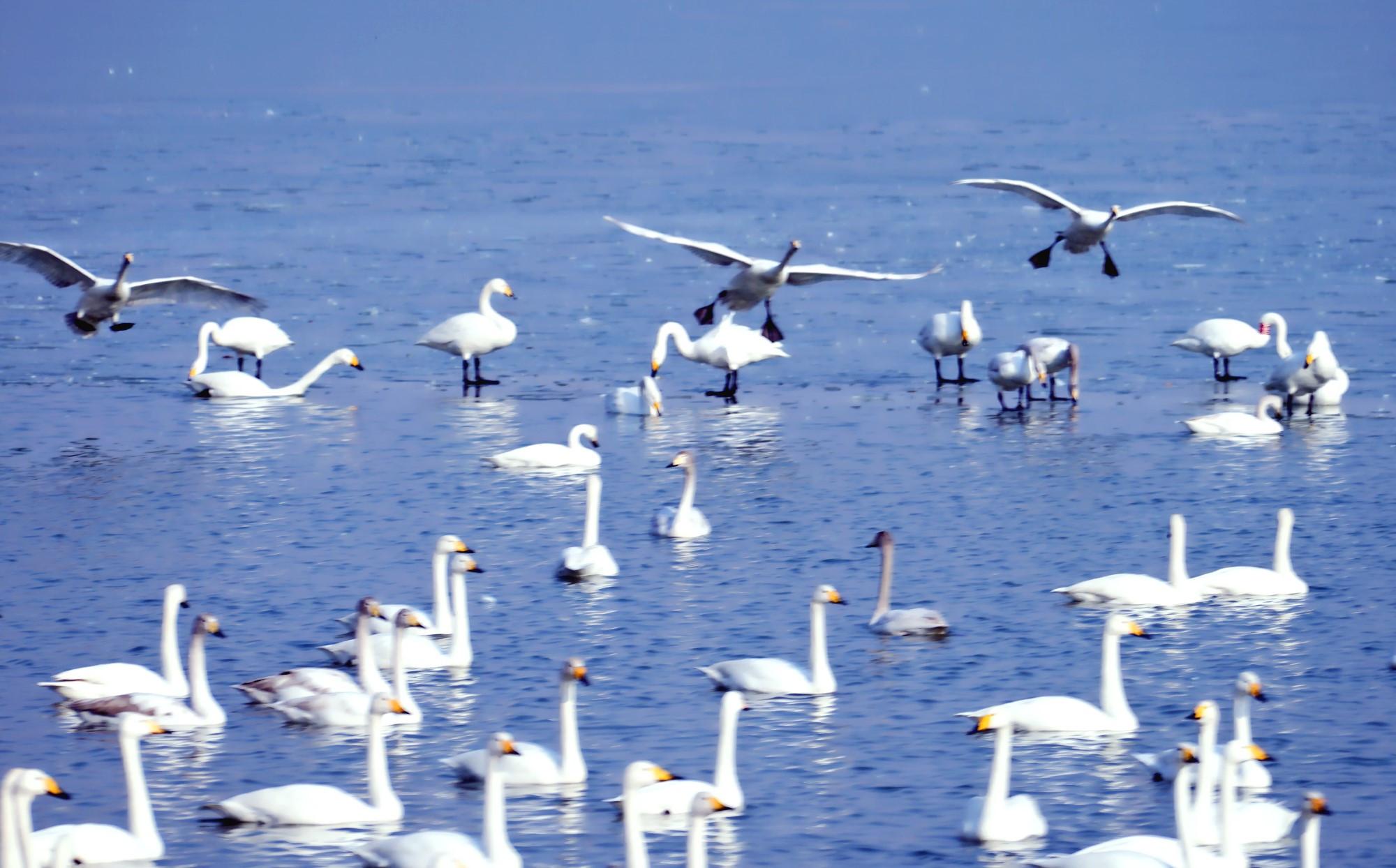 春节放假到圣天湖看天鹅,数千只野生白天鹅美得不像话