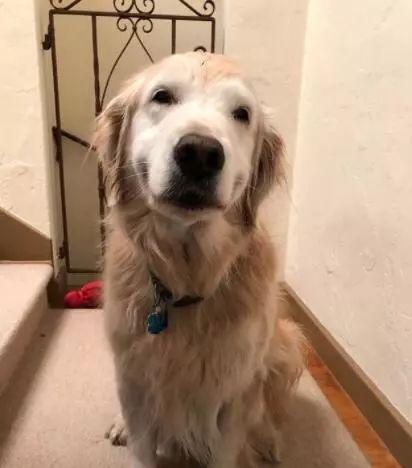 每次回家推开门时,家中11岁的狗狗就坐在那里,笑着欢迎主人