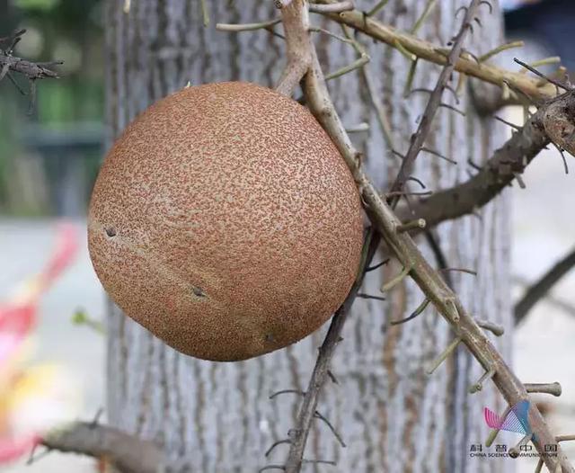 """世界上""""最危险的水果"""" 威力堪比手榴弹?真相在此的照片 - 5"""