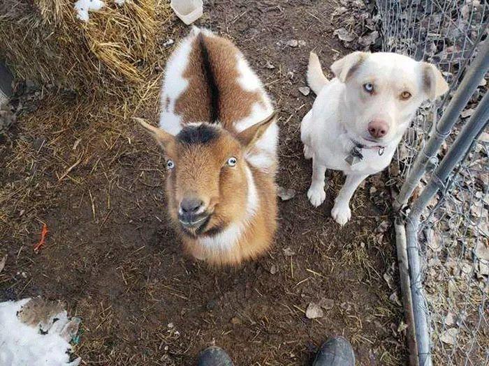 拉布拉多带着邻居家的狗私奔了,还拐走了人家的羊