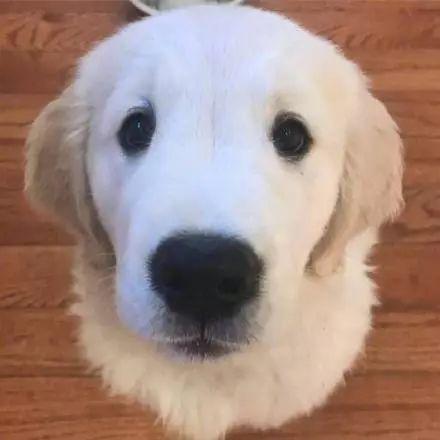 男子偷了一条金毛回家,可它绝食了三天,于是将它杀死了