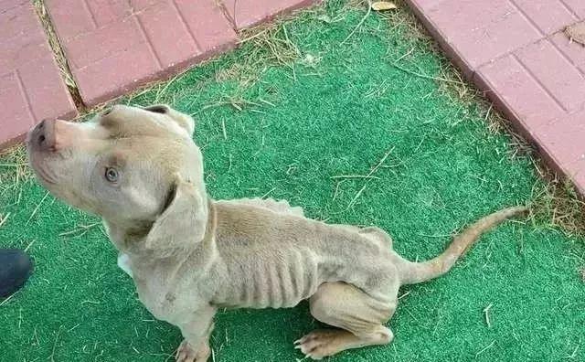 """被虐待的骷髅狗狗,被救后,终于长出了""""幸福肥""""!"""