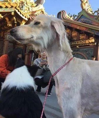 领养了一只阿富汗猎犬后,家里的澳牧竟然变柯基了!