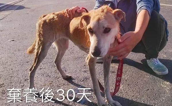 狗狗被弃养30天瘦成皮包骨,回不了家的它,彻底放弃了自己