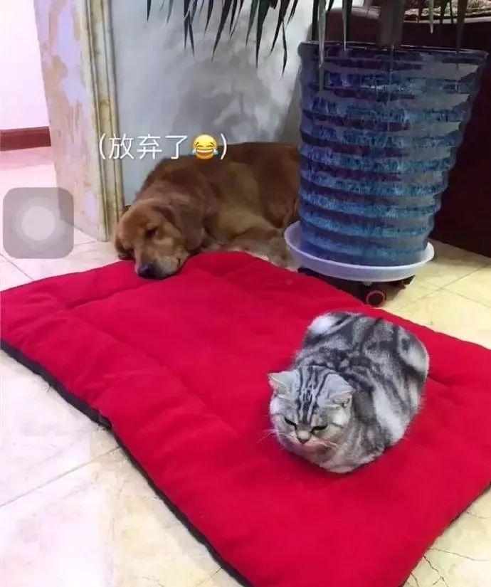 金毛看到主人给它买的垫子,超开心,家里的猫咪突然过来