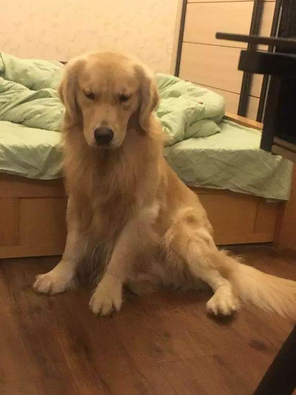 这只很淘气的金毛,就是喜欢偷偷上主人的床