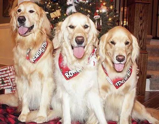 """带三只金毛去看兽医,它们躲在后座,主人问它们""""饿不饿"""""""