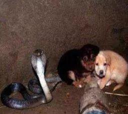 两只小奶狗和一条成年眼镜蛇在一起,结果让人有些意外