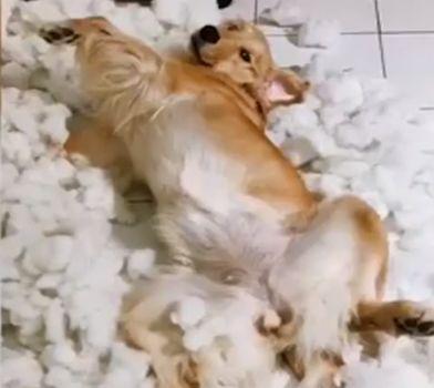 狗狗将新买的玩具大卸八块,主人看到后……