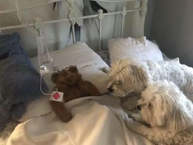 """狗狗的泰迪熊""""死了"""",铲屎官想出一个好方法"""