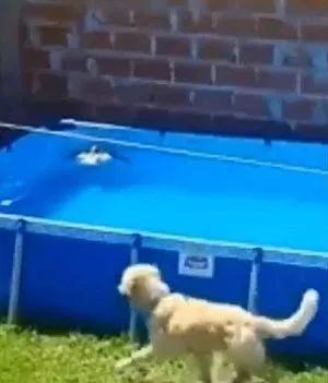 一只鸽子落在了泳池里,金毛狗狗冲泳池救援