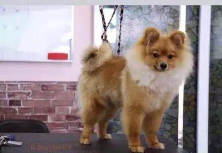 千万不要给狗狗做染发,在很多人的眼中,是一种虐待行为