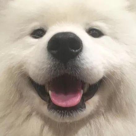 """萨摩耶被网友""""评选""""为了最糟糕的看门狗,至于为啥..."""