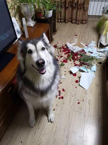 情人节还没过完,妹子就哭了:情人节被狗吃了!