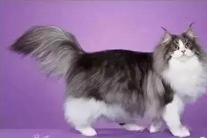 名猫百科- 褴褛猫_颜色