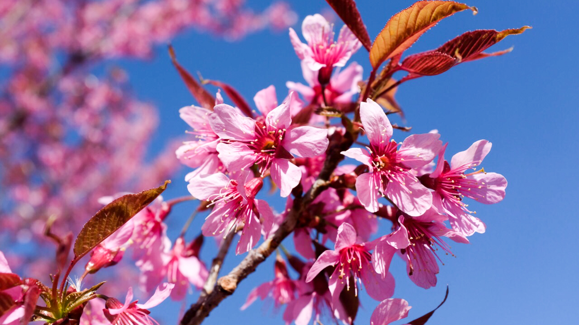 国内最美的高校之一,校园里樱花每年开两次,比武汉大学还漂亮