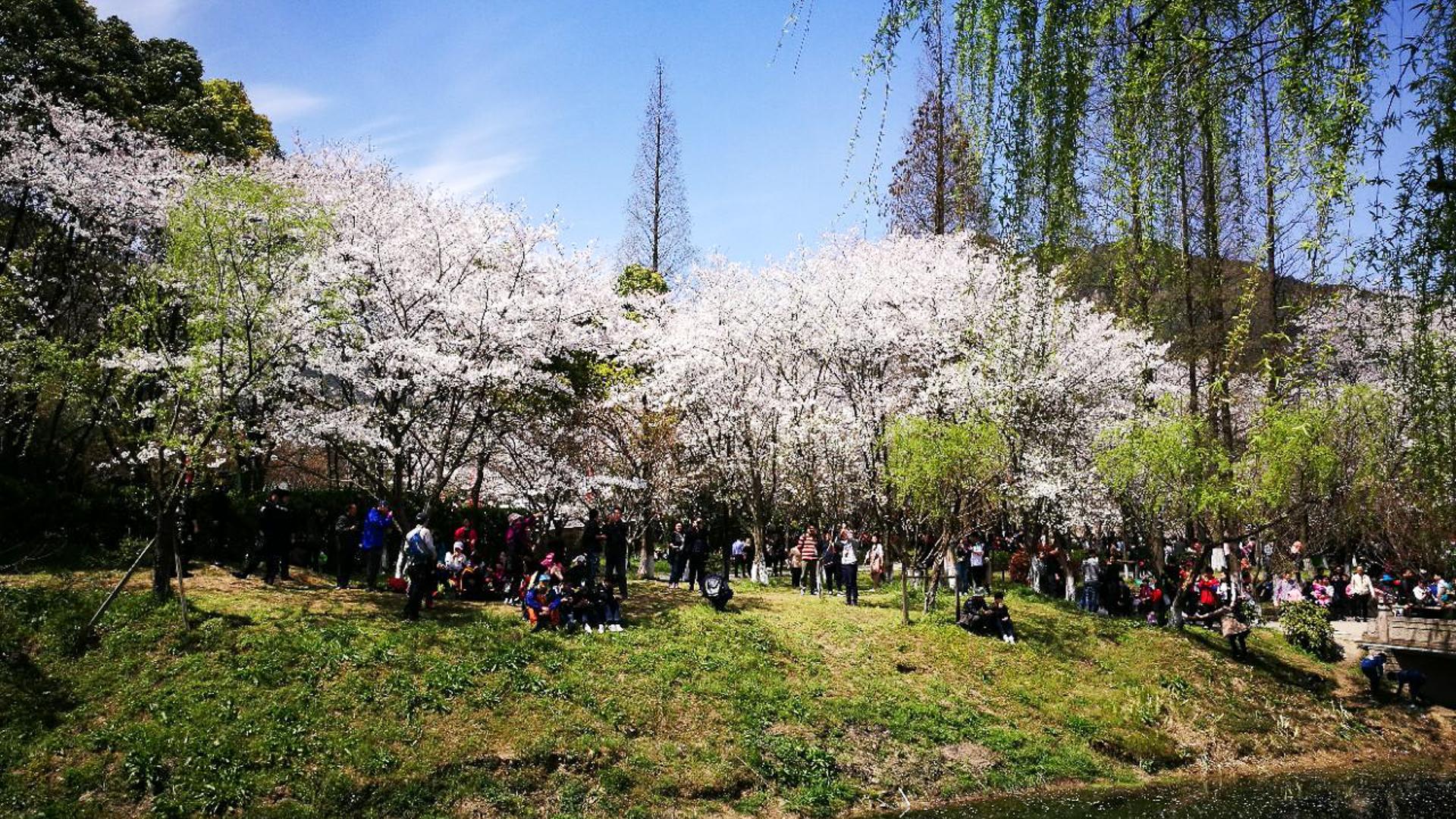浙江绍兴一处宁静的赏樱佳地,游客一边看樱花一边吃野餐,好惬意