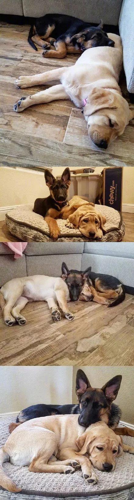 拉布拉多和德牧从小一起长大,这段情谊也是很让人羡慕了!