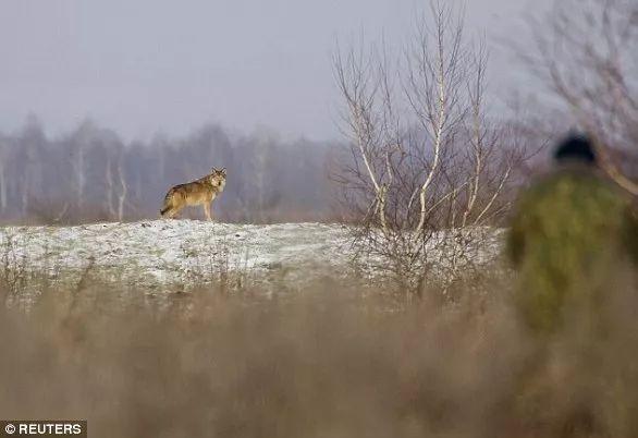 """33年后""""人间地狱""""切尔诺贝利 野生动物将这里变天堂的照片 - 10"""