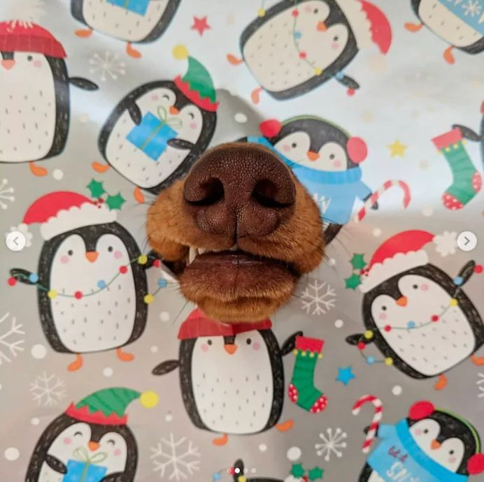 """国外一条靠鼻子走红的腊肠犬,ins上晒""""狗鼻子""""照片"""