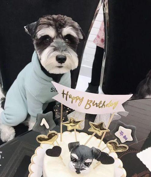 今天给雪纳瑞过生日,吃蛋糕煮面条,一样都不能少!