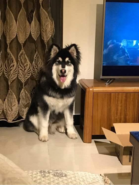 主人不让阿拉斯加在屋里,狗:你们在屋里准备干啥!