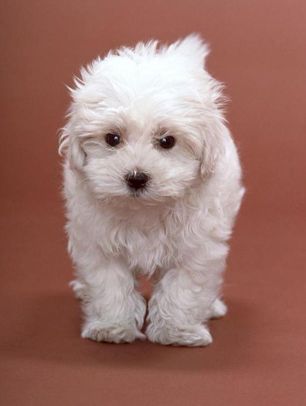 狗狗怀孕的特征和注意事项,你知道吗?
