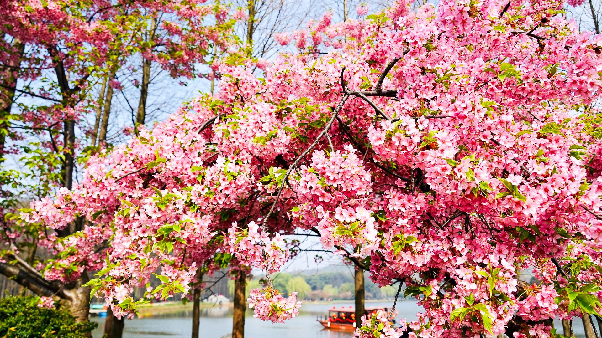 无锡最佳两处踏青胜地:一个是国内著名赏花景区,一个花开满春季