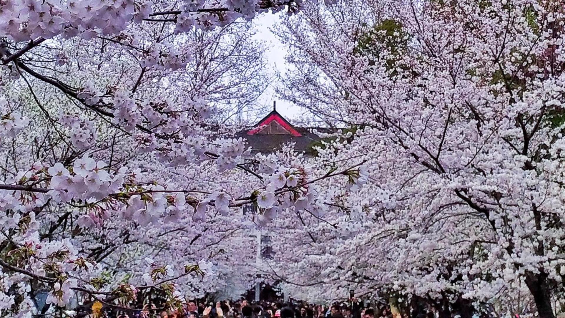 这里才是南京最美的樱花林,比鸡鸣寺更美更清净