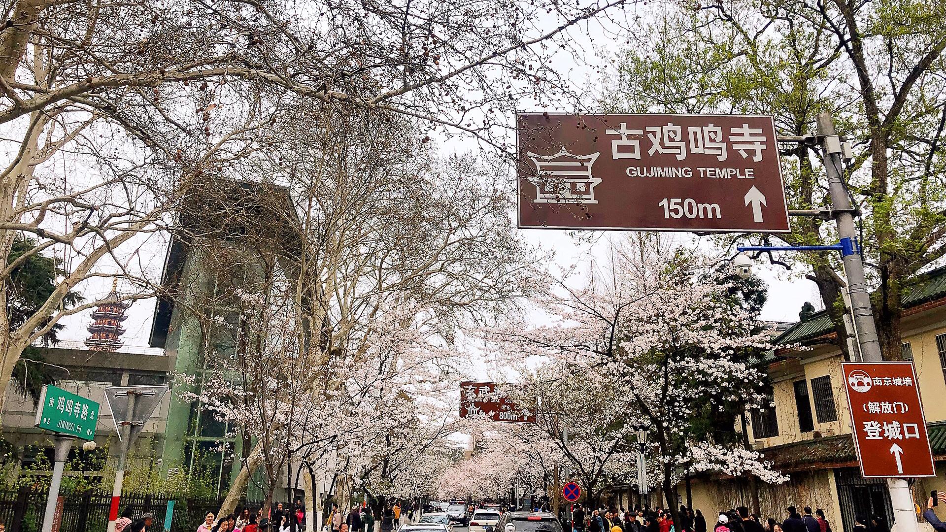 路上全是樱花!南京这条赏樱线路,才是国内赏花极品