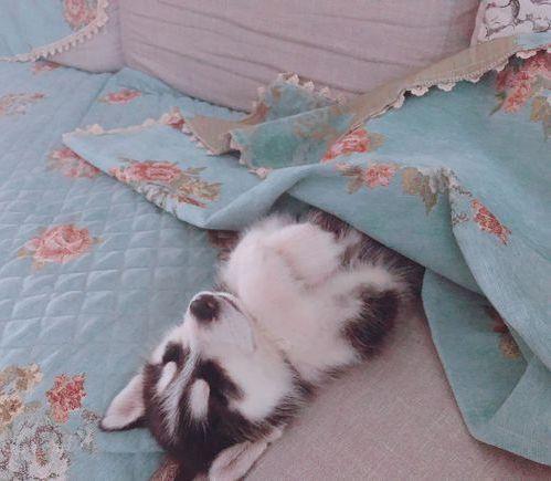 二哈睡得好甜啊!似乎是有人在抱着它一样,太萌了!