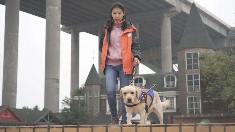 """一只导盲犬训练成本超20万,逾百视障人士""""抢都抢不到"""""""
