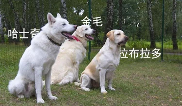 连续28年蝉联北美最受欢迎狗狗,果然又是这种狗狗