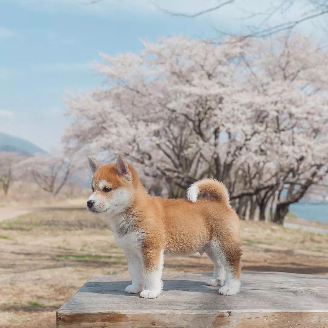又到了春暖花开的好时节,你带自家狗砸踏春了吗?