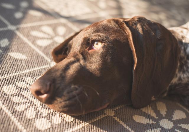 养宠物根治懒惰,狗狗是最佳伙伴,其中哈士奇格外适合