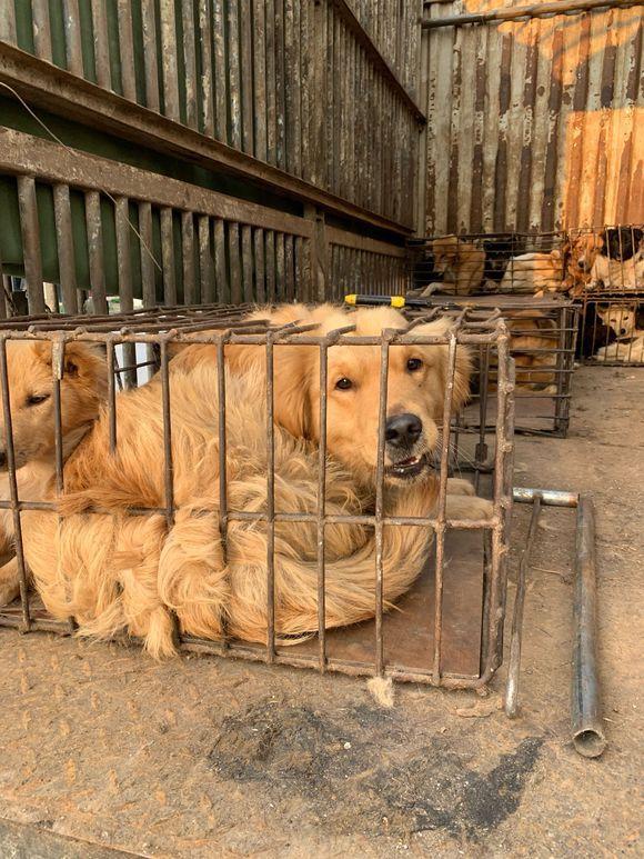 从狗肉车上解救了几只狗狗,回家洗完觉得长得还不错