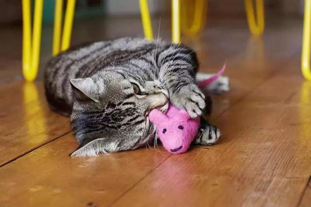 猫咪并不喜欢吃老鼠,捕鼠也只是因为三点原因,却总被人误解