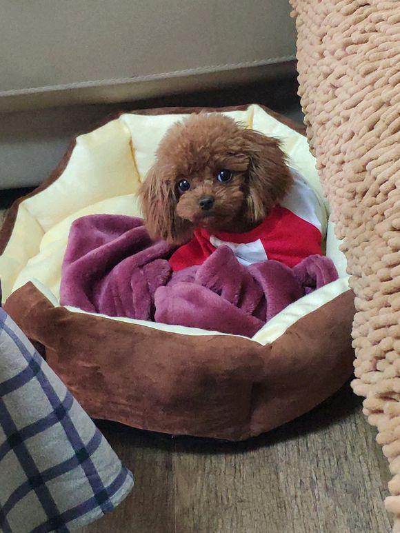 泰迪睡觉不脱衣服,它是为了起床能赶紧去学习,聪明又好学