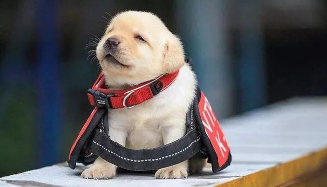 幼犬认主需要时间,四个月后才能记住主人