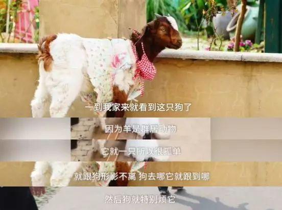 狗狗不喜欢家里的宠物羊,它把羊带出去,将羊抛弃后,自己回家