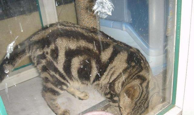 不可随意修剪猫胡子,很可能伤害爱猫,严重会导致走失