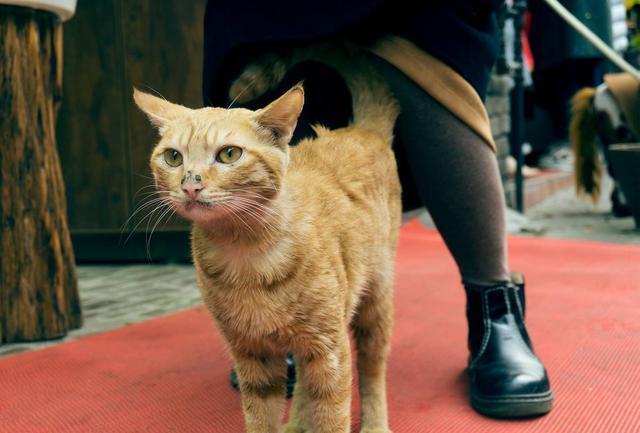 猫咪犯错的性格和心理:它在尝试着挑战铲屎官的权威