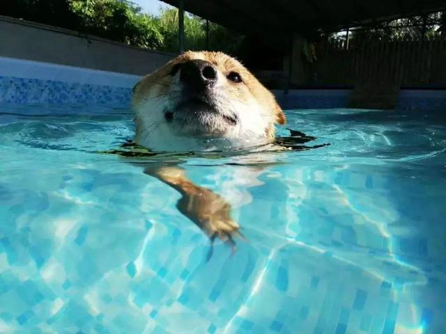 狗狗游泳有溺水风险,有些狗狗是不会游泳的!铲屎官要小心